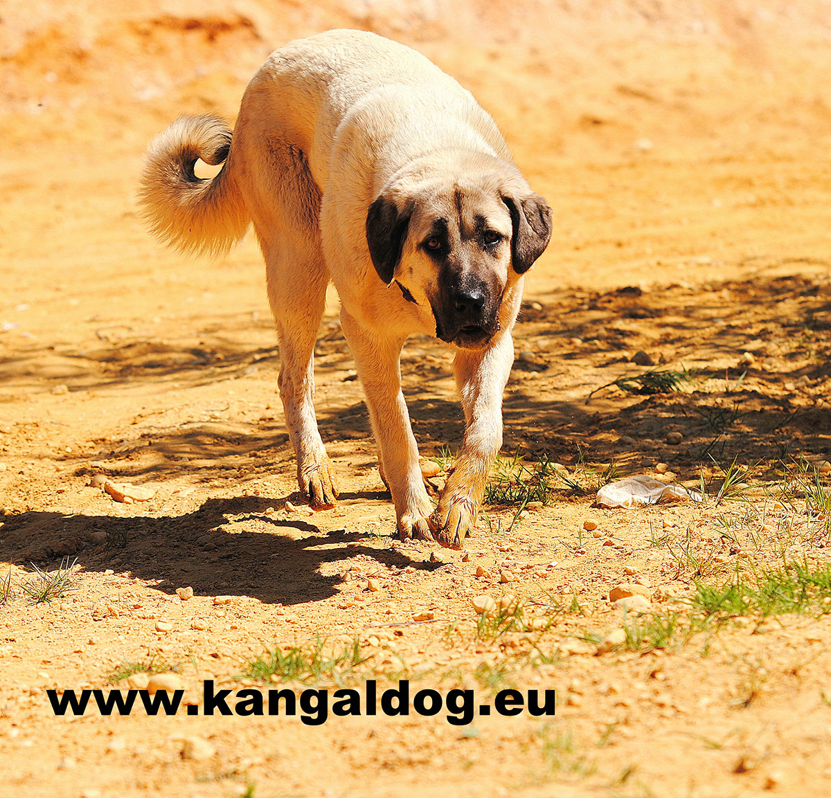 Turkish Diamond | Kangal